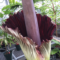 CorpseFlower_200.png